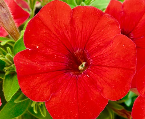 Δωρεάν στοκ φωτογραφιών με κηπουρική, κόκκινο λουλούδι σε πλήρη άνθιση