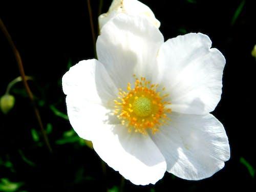 Безкоштовне стокове фото на тему «Біла квітка, великий план»
