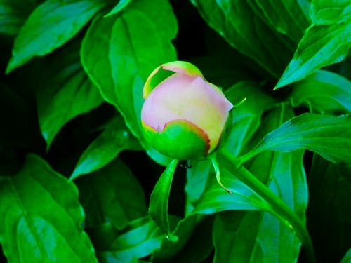 Free stock photo of green leaves, Soon will bloom, tiny peony bud