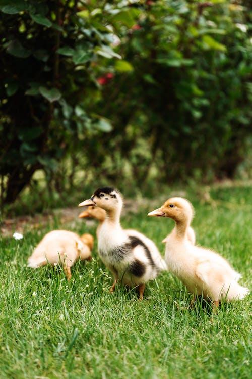 White Duck on Green Grass