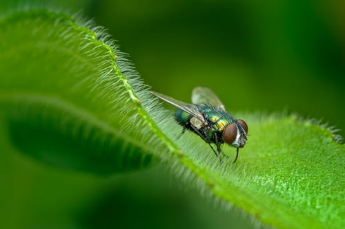 Fly of hairy plant leaf
