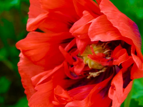 Free stock photo of beautuiful poppy blooms