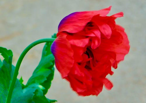 Free stock photo of green leaves, petals, ref poppy bloms