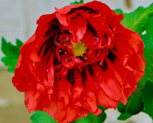 Free stock photo of beauty in nature, red flower