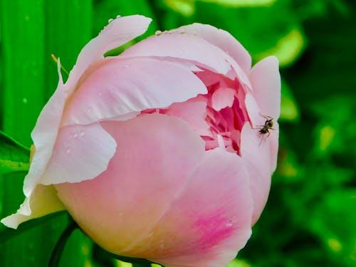 昆蟲在花上, 粉色牡丹開了 的 免費圖庫相片