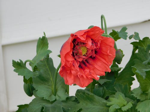 Free stock photo of the first poppy begins to bloom today