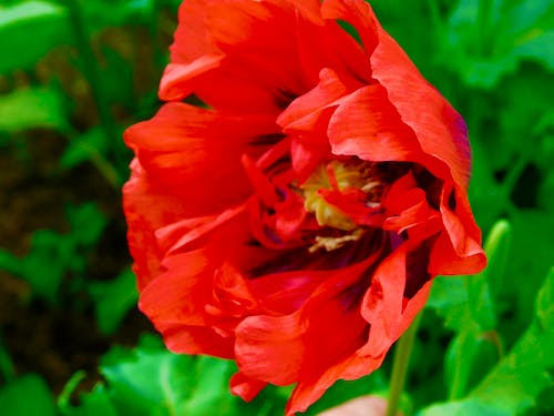Free stock photo of closeup red poppy flower