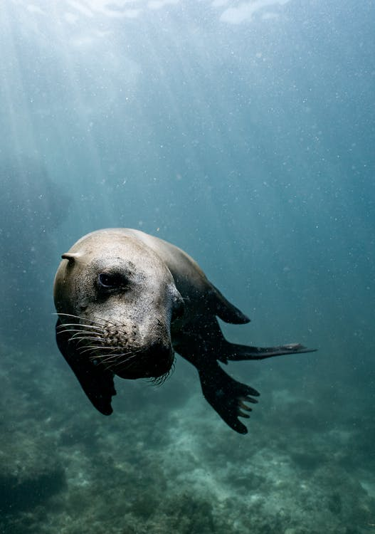 Wild brown seal swimming on rough rocky coast in blue sea under sunlights getting through water