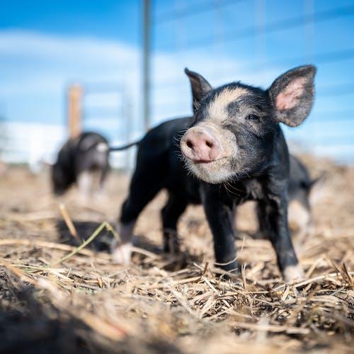 Close-Up Shot of a Black Piglet