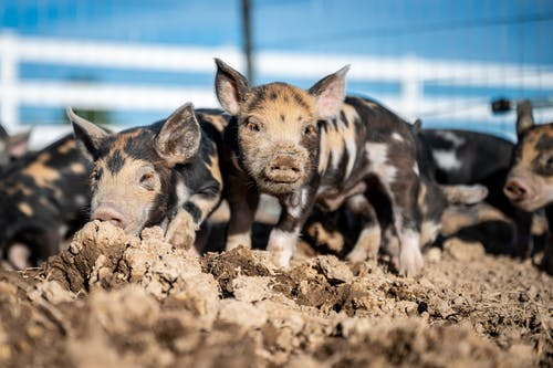 Close-Up Shot of Piglets on the Mud