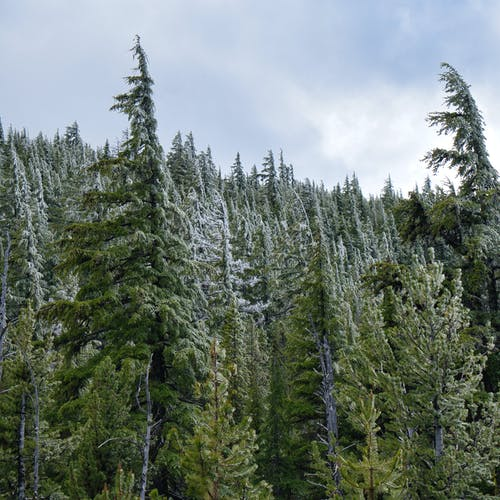 Gratis arkivbilde med bartrær, eviggrønn, forkjølelse, frost
