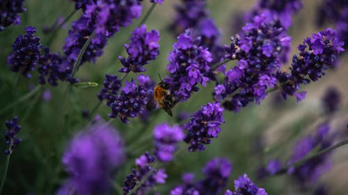 Free stock photo of bee, bumble bee, honey bee, lavender