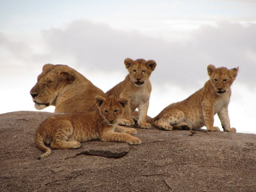 Lionesses Sitting on a Rock