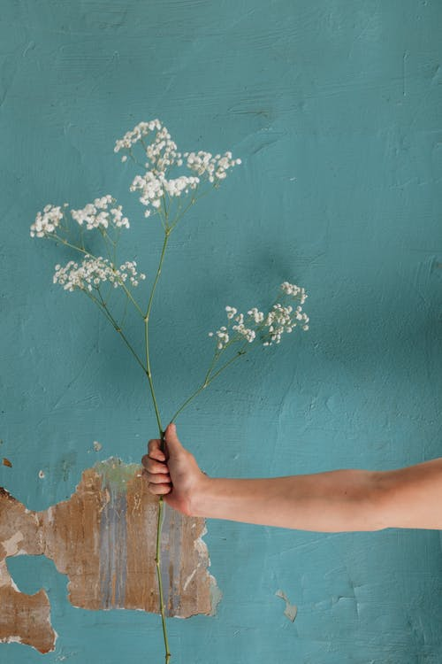 Person Holding White Flower Near Blue Wall