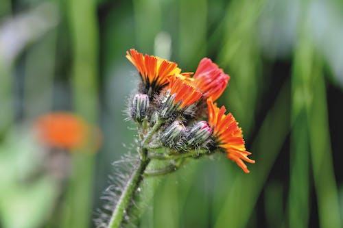 Immagine gratuita di all'aperto, fiore arancione, fiore rosso, fiori