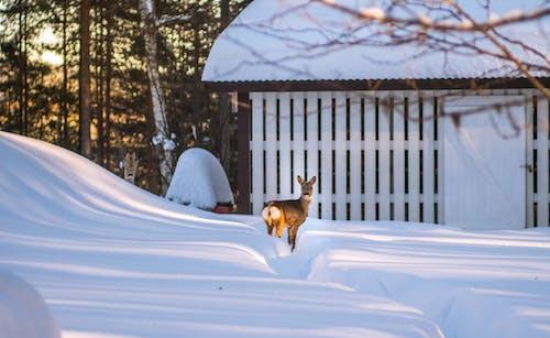 Photos gratuites de animal, cerf, froid