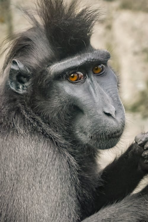 Close-Up Shot of a Black Crested Macaque