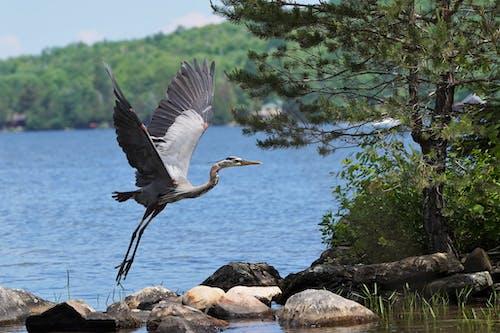Free stock photo of blue heron wildlife birding bird lake feathers