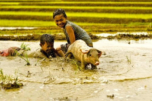 Free stock photo of farm, happiness, Philippines, pig
