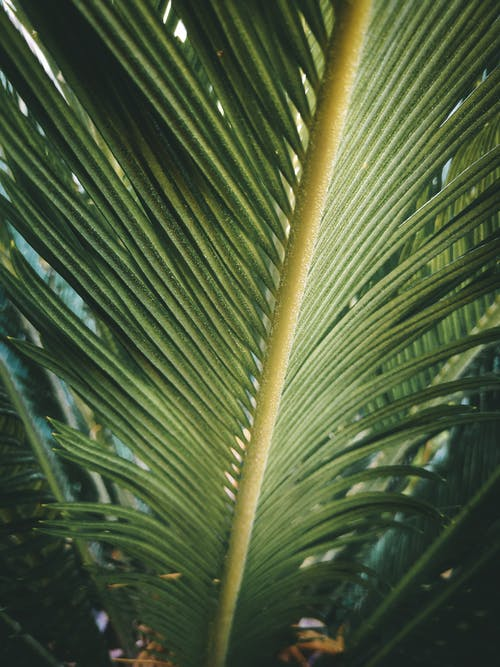 Low angle of healthy green leaf of coastal beccariophoenix exotic plant growing in tropical garden