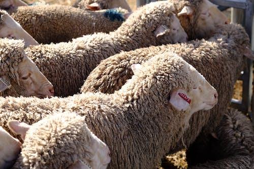 Foto stok gratis agrikultura, bayi domba, betina, binatang