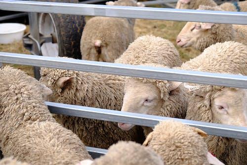 Foto stok gratis agrikultura, bayi domba, belum tua, berflokulasi
