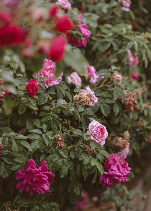 คลังภาพถ่ายฟรี ของ กลางแจ้ง, กลิ่นหอม, กลีบดอกไม้, ก้าน