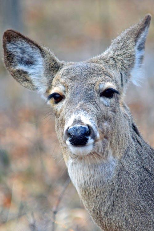 Free stock photo of bambi, brown, deer, deer face