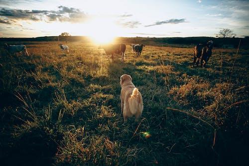 Ingyenes stockfotó alkonyat, állat, állatállomány témában
