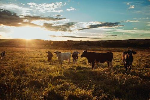 Herd of cows grazing in pasture