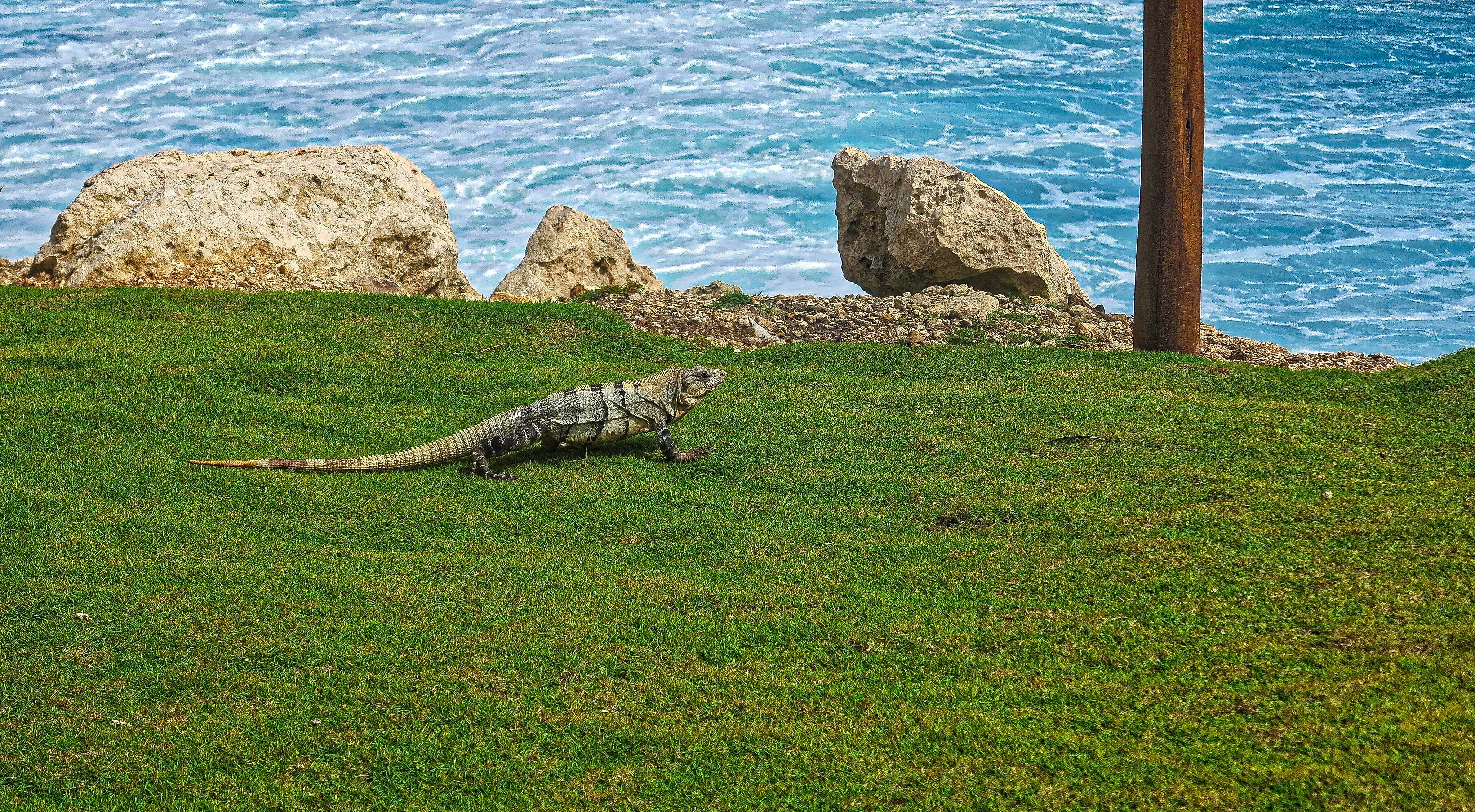 Free stock photo of cancun, exotic, hotel, lizard