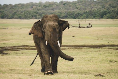 アフリカゾウ, エレファンテ, ゲーム, サバンナの無料の写真素材