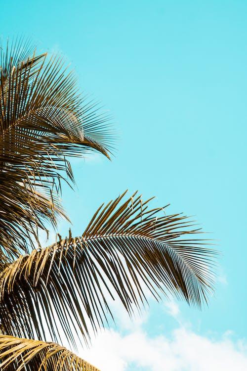 パルメ, ヤシの木, 木, 空と手のひらの無料の写真素材