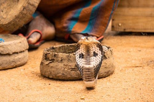 インド人, コブラ, ビーチ, ヘビの無料の写真素材