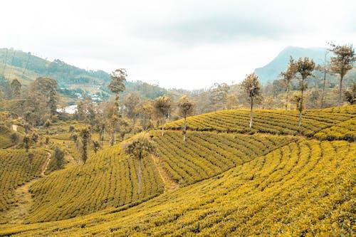 농장, 스리랑카, 식물 차, 자연의 무료 스톡 사진