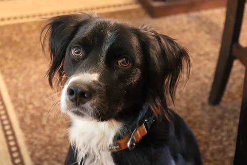 Free stock photo of black and white dog, dog, doggo