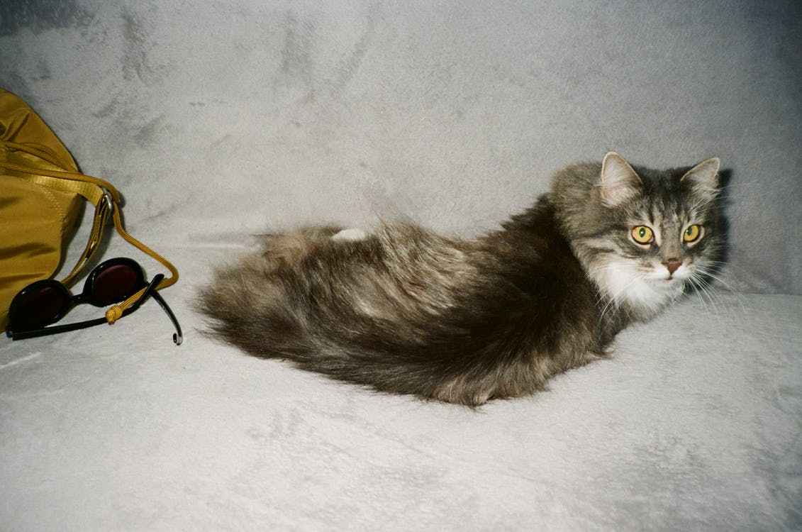 Grey and White Long Fur Cat Lying on White Textile