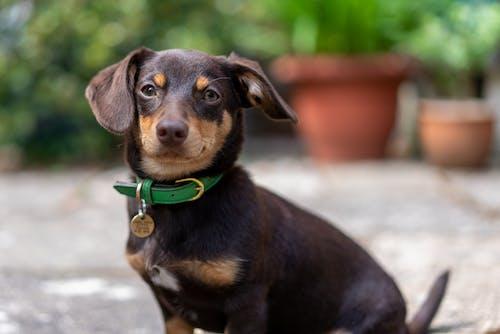 Free stock photo of dachshund, dog, pomeranian