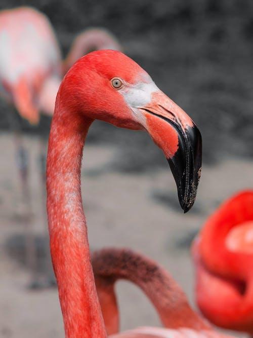 フラミンゴ, 動物, 自然, 赤の無料の写真素材