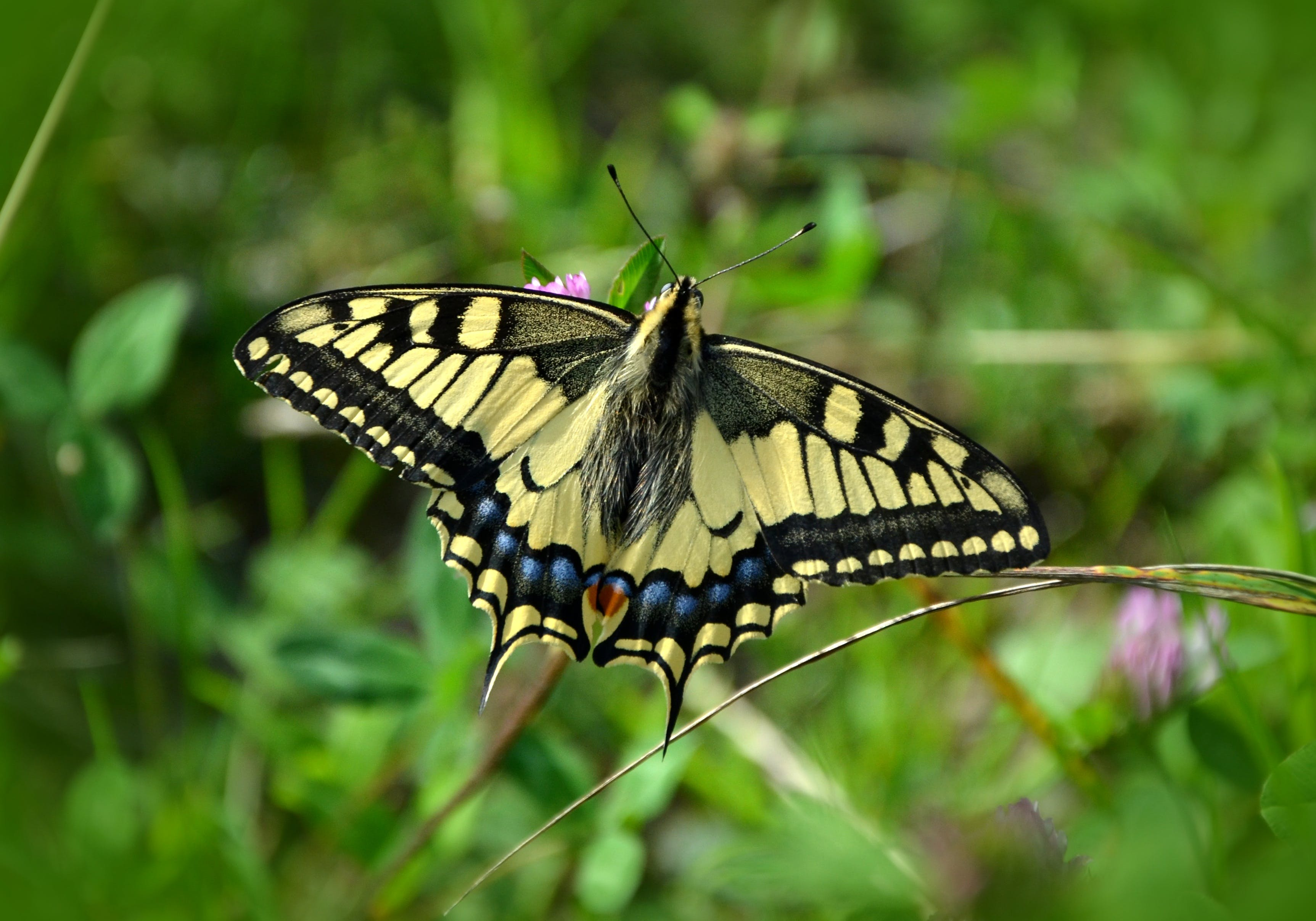 Eastern Tiger Swallowtail Butterfly Selective Focus Photography