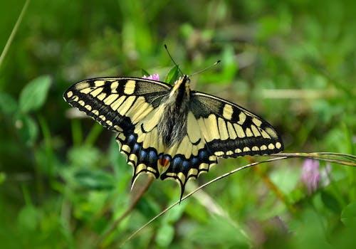 Fotos de stock gratuitas de encajar, insecto, mariposa, mariposas cola de golondrina