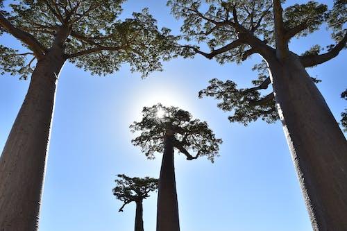 Free stock photo of Baobab, madagascar, nature, tree