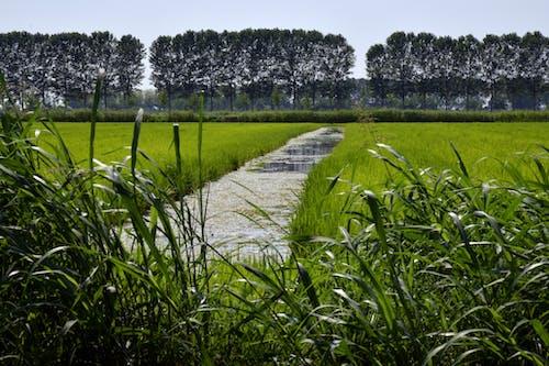 Immagine gratuita di acqua, alberi, campagna, campi di riso