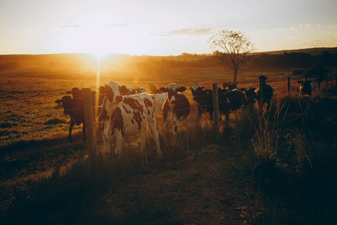 Herd of cows walking along fence in countryside at sunset