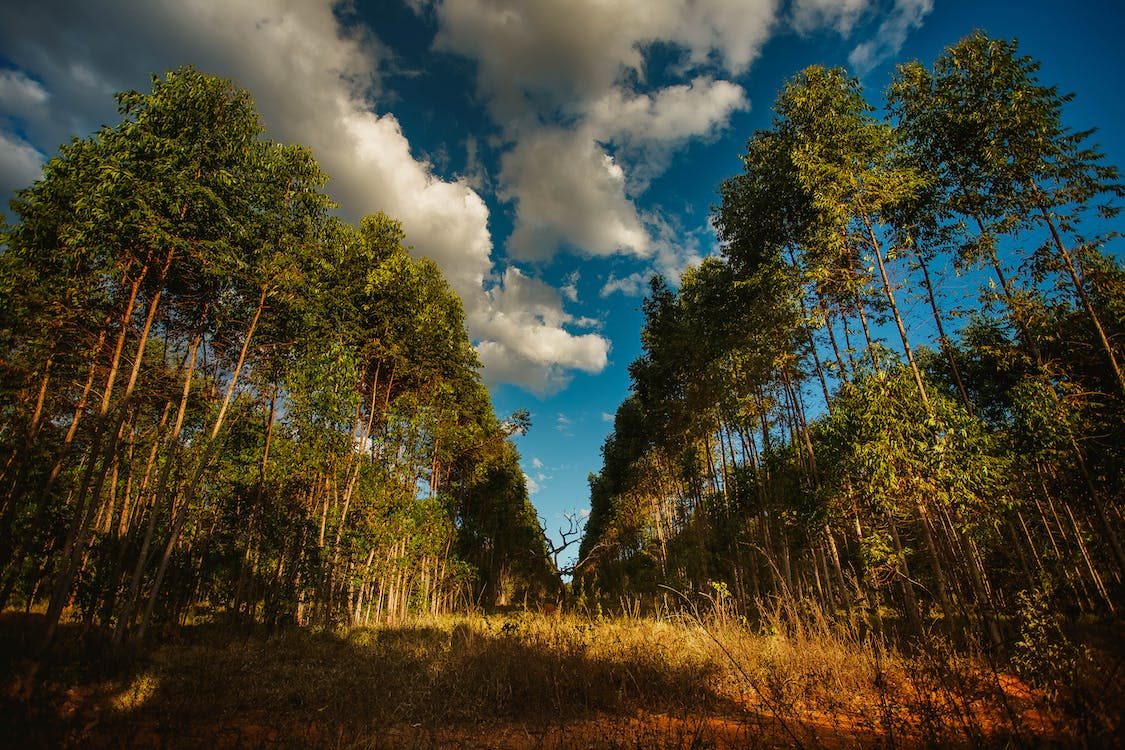 Small meadow between rows of tall majestic coniferous under vibrant blue sky covered with heavy clouds in sunlight