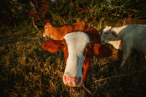 Muzzle of adult cow with white brown smooth fur and big ears looking at camera on green pasture in evening