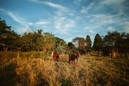 Безкоштовне стокове фото на тему «дерево, Захід сонця, кіннота, корова»