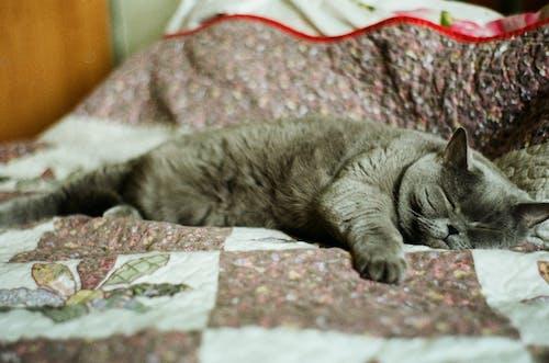 Gratis arkivbilde med britisk katt, grå katt, katt, katt på sengen