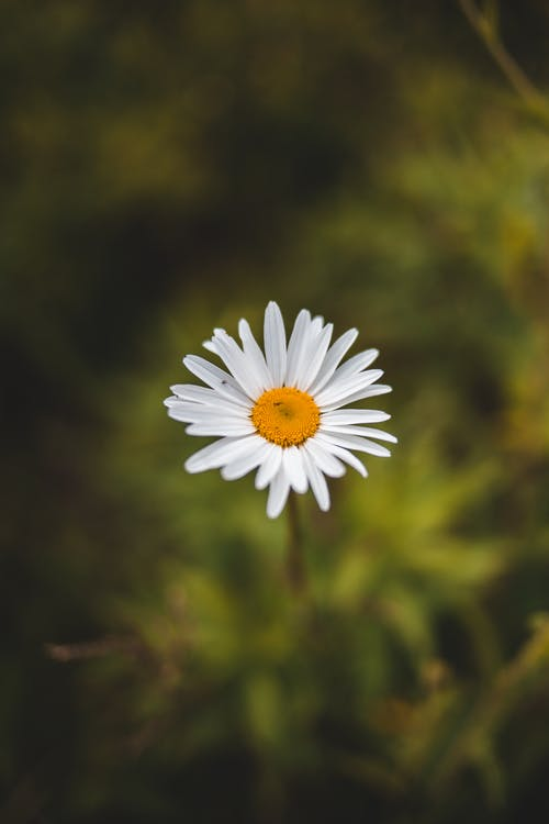 Blooming chamomile in green field in summer