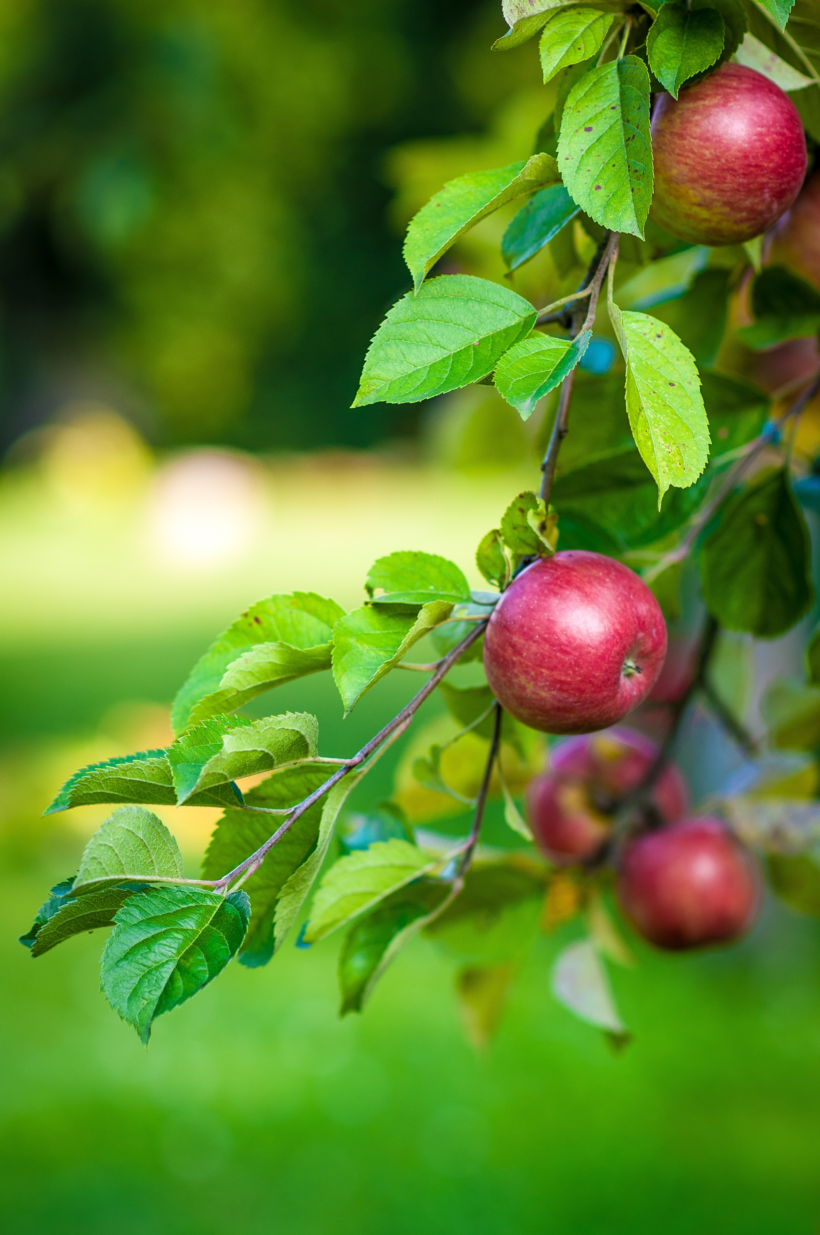 Green Leaves And Red Apple Fruit Free Stock Photo